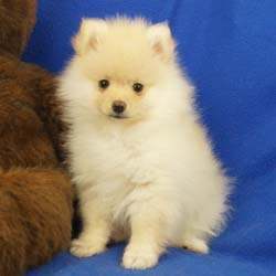 Pomeranian puppies for sale Pomeranian breeder, Pomeranian breeders near me, Impressivepom.com Pomeranian puppy for sale cream Pomeranian puppy  for sale teacup Pomeranian for sale Impressive Pomeranians 417-300-6532>