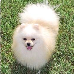 Pomeranian Breeders Pomeranian puppies for sale